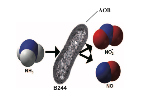 The conversion by B244, our proprietary strain of AOB, of ammonia into nitrite and nitric oxide